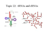 Topic 22, tRNA and rRNA