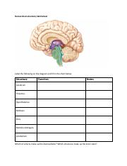 Human Brain Anatomy Worksheet.pdf