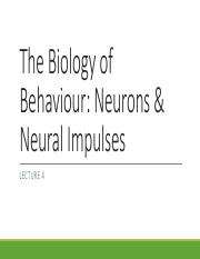 Lecture 4 Neurons, Nerves  the Nervous System