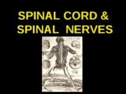 ANP 300 - Lecture 13 - Spinal Cord & Nerves