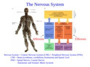 Nervous_system_structure