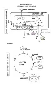 Chapter 10 - Photosynthesis Diagrams