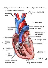 Heart Flow and Major Arteries Notes