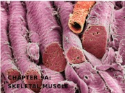 10_skeletal+muscle