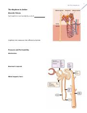 Nephron_Worksheet