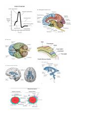 Brain and Action Potential Pics.pdf