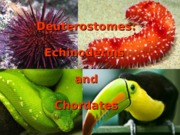 Lecture 23 - Echinoderms bio1500