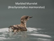 24. Marbled Murrelet Case Study