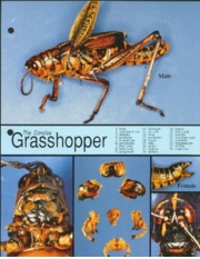 genetic variability of grasshopper populations That most of the genetic variation occurs within populations, whereas only a small  variation  grasshopper, the gene flow among populations of o infernalis is.