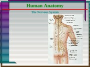 10 Hum Anat - Nervous System - Peripheral Nerves