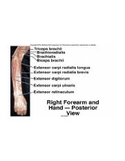 Right forearm and hand posterior view muscles.jpg