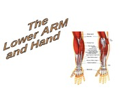 1.6 The Lower Arm and Hand