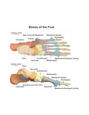 Bones-of-the-Foot.png