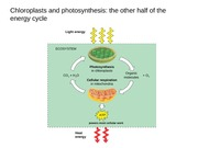 Lectures 18-20 Chloroplasts and Photosynthesis