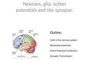 BIO 150 Neurons, Potentials and the Synapse