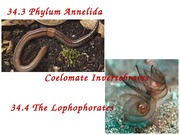 Lecture 21-Annelids and lophophorates-1