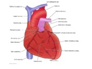 Lecture4_Blood Vessels and Lymphatics of the Heart