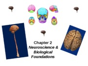 Intro chapter 2 ppt skeletons (brain)