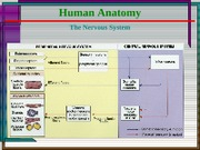 08 Hum Anat - Nervous System - Intro & Overview
