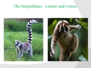 Lecture 12- The Strepsirhines-Lemurs and Lorises