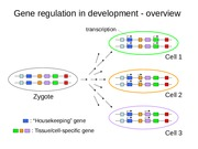 Lecture 20 (Developmental Genetics)(3)
