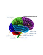 labeled_diagram_human_brain