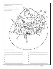 animal cell coloring.pdf - The average adult human has ...