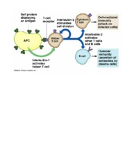 role of T helper cells