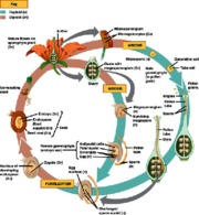 Key - Angiosperm Lifecycle Study