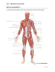 Pre LAB 7 Muscular System