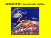 (8) The neuromuscular junction.ppt