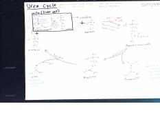 urea cycle_0002-2.pdf