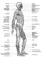 human-anatomy-muscles-3