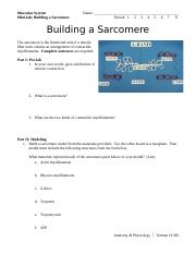 Building a Sarcomere.docx