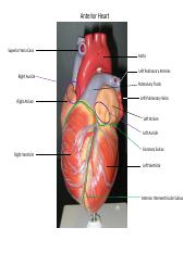 204-LAB.4 The Human Heart.pptx