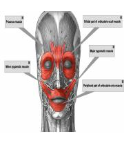 Muscles of the cephalad.pptx
