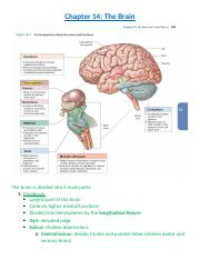 Chapter 14- The brain.docx