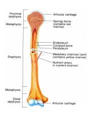 long_bone_anatomy_2.jpg