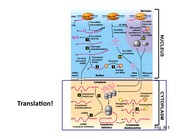 Lecture11_FA2014_translation_mRNAdecay