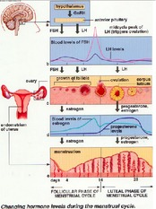 hormones during menstrual cycle