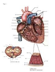 Heart Diagram Unlabeled : SCIENCE AP Biology : Solon High ...