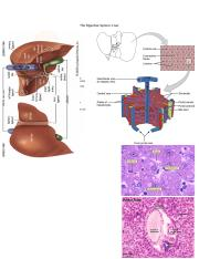 The Digestive System_The Liver
