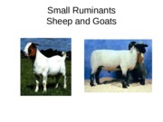 Chapter 20, 21 - Sheep and Goats
