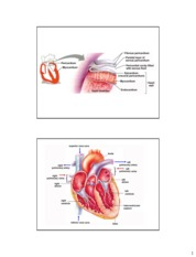 Chapter 14 and 15 The Heart and Cardiovascular System