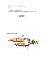 Mod 5 DNA Replication.docx