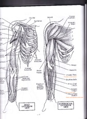 Arm (anterior and posterior)