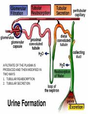 2- NEPHRON AND GLOMERULAR FILTRATION