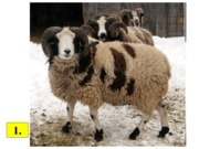 Sheep Breeds Review 2