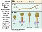 lecture 14--phages and genetics