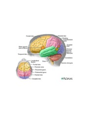 human-brain-frontal-lobe